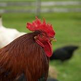 Kurczaka portret Zdjęcie Stock