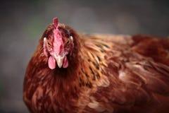 Kurczaka portret Zdjęcia Stock