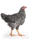kurczaka promień Zdjęcia Royalty Free