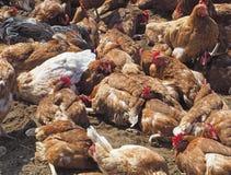 Kurczaka pyłu skąpania przyjęcie Fotografia Stock