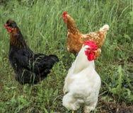 Kurczaka spacer Zdjęcie Stock