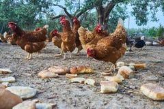 Kurczaka widok zdjęcie stock