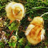 Kurczaka życie Obrazy Stock