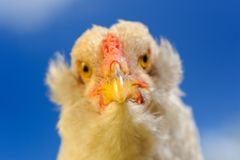 Kurczaka zakończenie Przeciw niebieskiemu niebu Zdjęcia Royalty Free