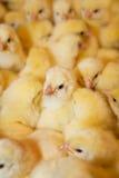 kurczaki żółte obraz stock