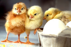 Kurczaki Zdjęcia Stock