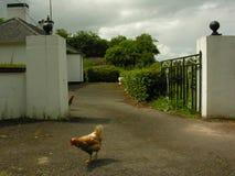 kurczaki Fotografia Royalty Free