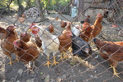 Kurczaki 02 Obraz Royalty Free