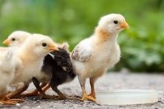 kurczaki zdjęcie stock