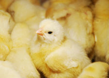 kurczaki Zdjęcia Royalty Free