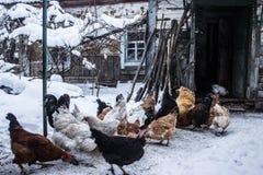 Kurczaki blisko starego domu stary dom zdjęcia stock