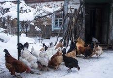 Kurczaki blisko starego domu stary dom zdjęcie royalty free
