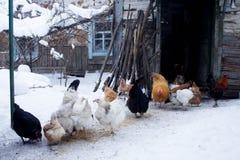 Kurczaki blisko starego domu stary dom obrazy royalty free