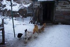 Kurczaki blisko starego domu stary dom fotografia royalty free