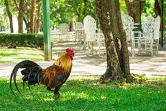 Kurczaki chodzi w parku Naturalny t?o zdjęcia stock