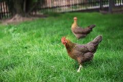 Kurczaki chodzi w zielonej trawie i patrzeje dla coś jeść Stubarwny szczęśliwy kurczak Obraz Royalty Free