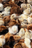 kurczaki coloured dużo nowonarodzony Zdjęcia Stock