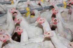 Kurczaki. Farma drobiu Obrazy Stock