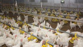 Kurczaki. Farma drobiu Zdjęcie Stock