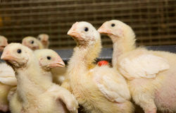 kurczaki Farma Drobiu Zdjęcia Stock