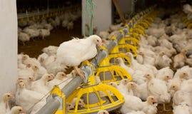 kurczaki Farma Drobiu Obraz Royalty Free
