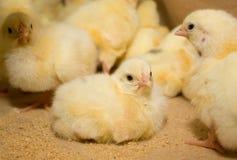 kurczaki Farma Drobiu Zdjęcia Royalty Free