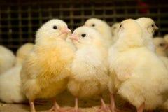 kurczaki Farma Drobiu Zdjęcie Stock