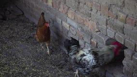 Kurczaki iść stajnia zbiory