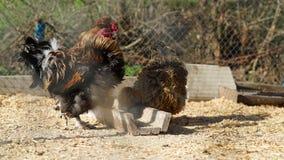 Kurczaki i kogut Obraz Stock