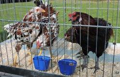 Kurczaki i koguty w klatce zdjęcie stock
