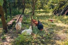 Kurczaki i koguty w podwórku zdjęcie stock