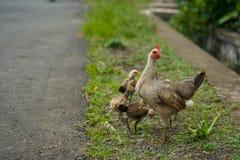 kurczaki kurni Zdjęcia Royalty Free