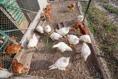 Kurczaki lub karmazynki wśrodku kurczak klatki obrazy royalty free