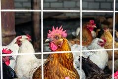 Kurczaki na gospodarstwie rolnym obrazy royalty free