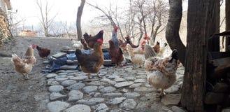 Kurczaki na obrazku zdjęcie royalty free