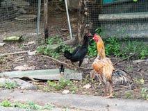 Kurczaki na otwartym gospodarstwie rolnym obraz royalty free
