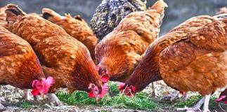Kurczaki na tradycyjnej bezpłatnej pasmo farmie drobiu zdjęcie royalty free