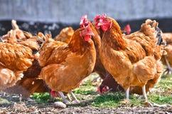 Kurczaki na tradycyjnej bezpłatnej pasmo farmie drobiu zdjęcia stock