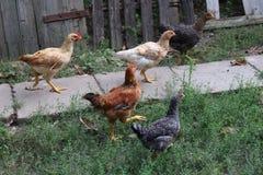 Kurczaki podnoszący w organicznie gospodarstwie rolnym zdjęcie stock