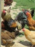 Kurczaki przychodzili najpierw tutaj obraz royalty free