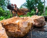 Kurczaki siedzi na kawałku sago palmy w wiosce Mentawai plemię Obrazy Stock