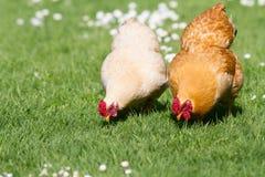 kurczaki uwalniają zakres zdjęcie royalty free
