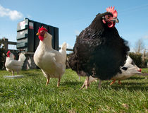 kurczaki uwalniają pasmo Obrazy Royalty Free