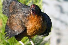 Kurczaki wędruje w gronie zdjęcie stock