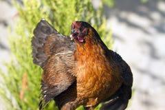 Kurczaki wędruje w gronie obrazy royalty free