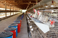 Kurczaki w bateryjnych klatkach Fotografia Royalty Free