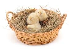 Kurczaki w gniazdeczku siano obraz royalty free