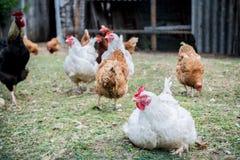 Kurczaki w gospodarstwie rolnym outdoors zdjęcie royalty free