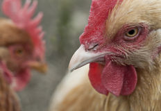 Kurczaki w jardzie Zdjęcia Stock