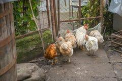 Kurczaki w jardzie kraj zdjęcia stock
